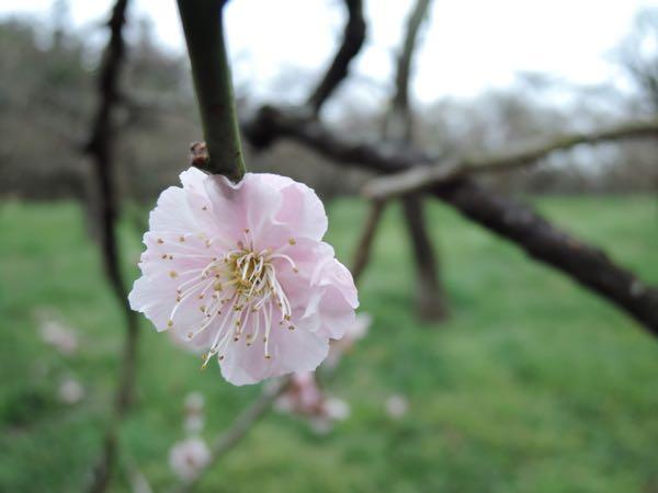 偕楽園の桜